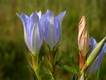 Marsh Gentian (Gentiana pneumonanthe)